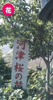 kawazuzakura0430.jpg