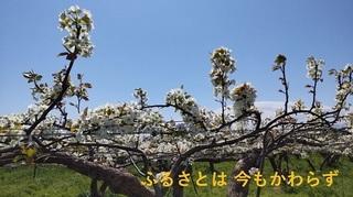 nashihana04.jpg